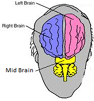 Title: Picture of the Brain - Description: This picture shows the left, right, and mid brain.